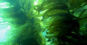 Seaweed in water, seaweed benefits