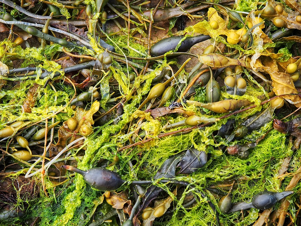 The benefits of dulse are making waves