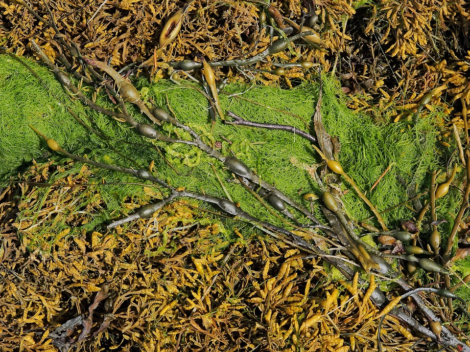 Sea kelp versus seaweed, what's the difference?