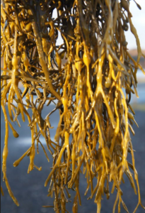 eggwrack, ascophyllum nodosum seaweed, fresh, iodine source, seaweed recipes